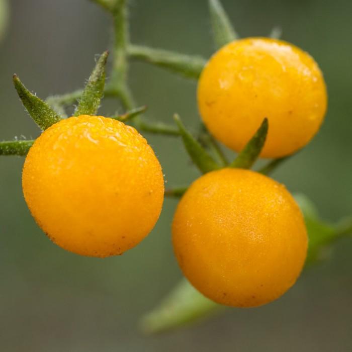 Galapagos tomato